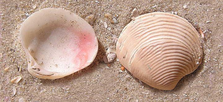 Gemeine Venusmuschel