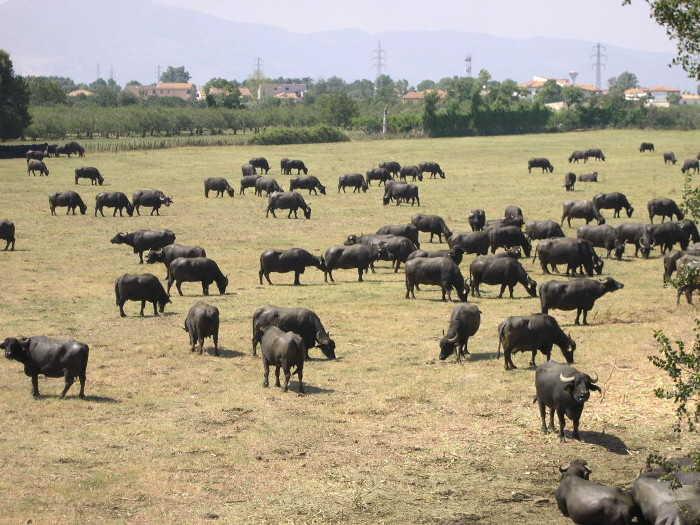Wasserbüffel in Kampanien