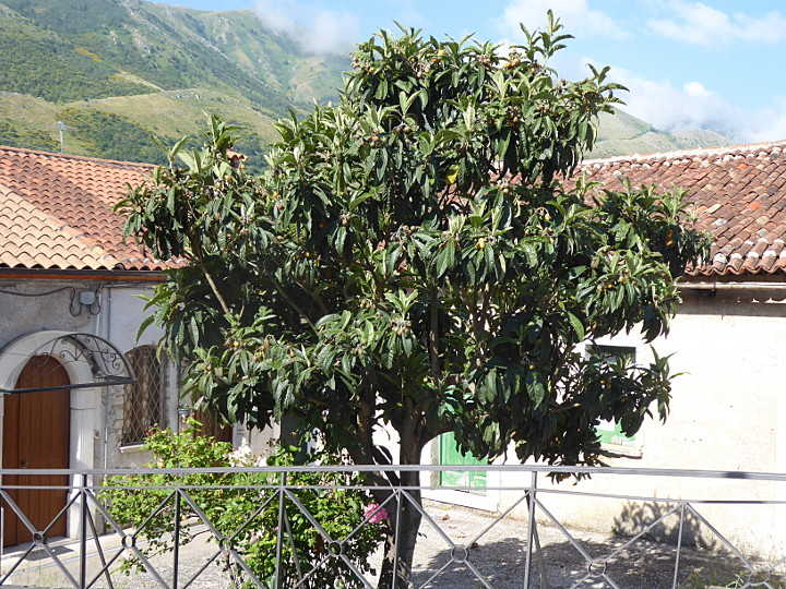 Mispelbaum