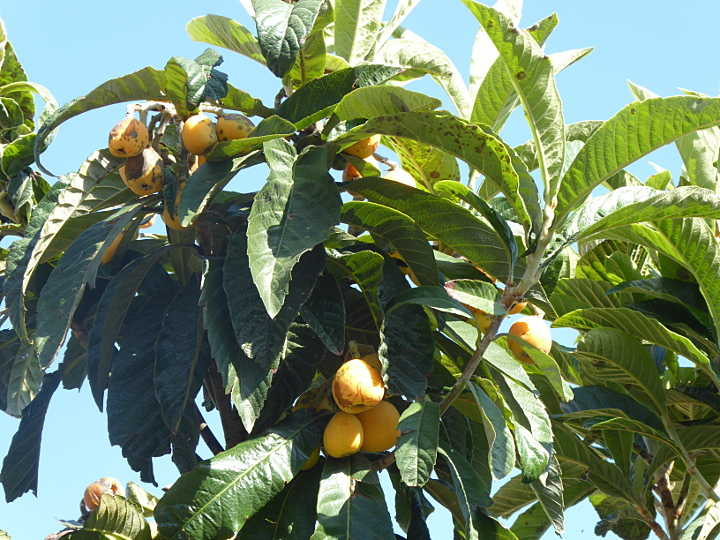 Mispeln am Baum