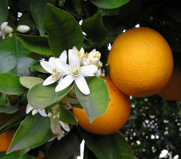 orangenblüten