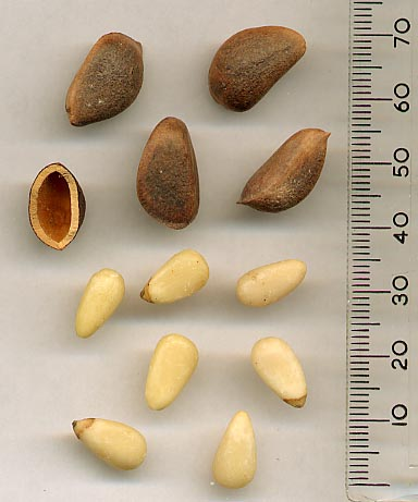 pinienkerne-koreiensis